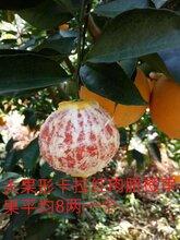 卡拉红肉脐橙苗木-血橙苗-血橙苗价格-卡拉红肉脐橙苗批发图片