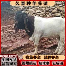 波爾山羊繁殖波爾山羊母羊純種波爾山羊孕羊圖片