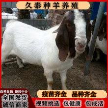 波爾山羊種苗純種波爾山羊孕羊波爾山羊養殖圖片