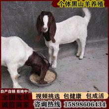 波爾山羊價格純種波爾山羊孕羊波爾山羊懷孕母羊圖片