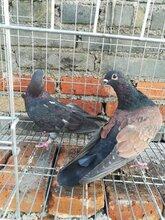 哪里有卖肉鸽笼的河北鸽笼厂家肉鸽笼价格百鸽笼铁丝网鸽笼图片