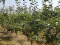秋月梨苗秋月梨苗品种价格图片