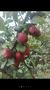 新西兰红梨苗新西兰红梨苗单价图片