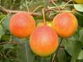 早美酥梨树苗早美酥梨树苗价格图片