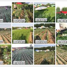 黃桃樹苗幾年結果_黃桃樹苗幾年結果品種特點圖片