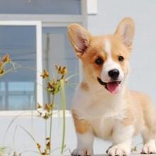 附近哪有養拉布拉多的寵物店有沒有可愛的狗狗想養一只圖片