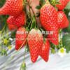 山东小白草莓苗、山东小白草莓苗报价