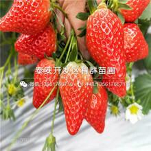 哪里買巨星一號草莓苗圖片