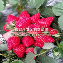 供應艾沙草莓苗價格多少圖片