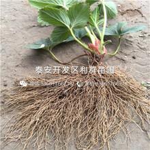 紅顏草莓苗新品種、紅顏草莓苗多少錢一棵圖片