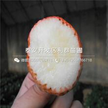 明寶草莓苗價格、明寶草莓苗批發價格圖片