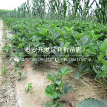 大棚櫪乙女草莓苗一畝地種植多少棵圖片