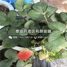 卡姆蘿莎草莓苗多少錢、2018年卡姆蘿莎草莓苗報價圖片