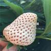 山东红实美草莓苗出售