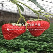 卡麥羅莎草莓苗、卡麥羅莎草莓苗哪里便宜圖片