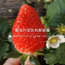 新世紀一號草莓苗價格多少錢圖片