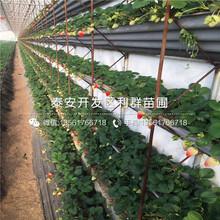 山東幸香草莓苗價格、山東幸香草莓苗批發圖片
