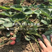 2018年咖啡草莓苗批發價格是多少圖片