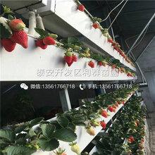 山东京御香草莓苗、山东京御香草莓苗多少钱图片