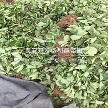 日本一號草莓苗批發、日本一號草莓苗價格多少圖片