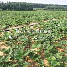 草莓原種苗價格多少、草莓原種苗一畝地種植多少棵圖片