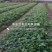 甜寶草莓苗基地、甜寶草莓苗出售價格多少圖片