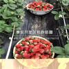 幸之花草莓苗价格、山东幸之花草莓苗出售