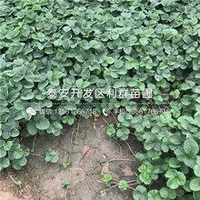 美德莱特草莓苗品种、2018年美德莱特草莓苗价格是多少图片