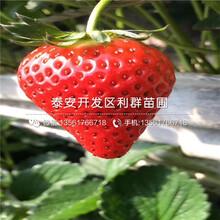 2018年草莓苗价格、草莓苗批发价格图片