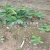 山东草莓苗价格多少、山东草莓苗什么时候种植好