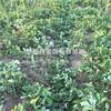 山东白雪公主草莓苗出售、山东白雪公主草莓苗多少钱一棵