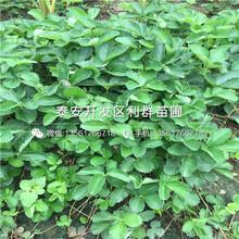 盆栽圣安德瑞斯草莓苗價格圖片