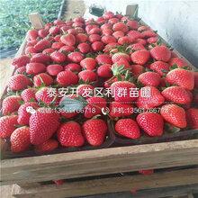 组培草莓苗示范基地图片