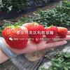 山东红脸颊草莓苗出售价格、山东红脸颊草莓苗批发基地