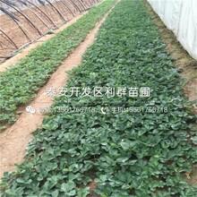 山東瑪雅草莓苗多少錢一棵、山東瑪雅草莓苗出售圖片