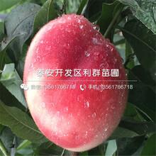 中熟中油4號桃樹苗多少錢一棵圖片