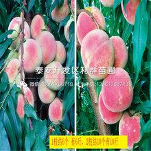 批發大久(jiu)保(bao)桃樹苗(miao)價格(ge)多少(shao)圖片