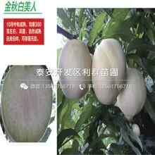 山東19黃桃苗新品種、山東19黃桃苗價格多少圖片