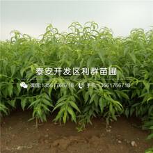 9公分黃桃樹苗價格、9公分黃桃樹苗批發圖片