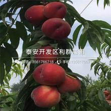 春蜜桃樹苗品種圖片