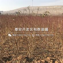 中蟠15號蟠桃樹苗多少錢一棵、中蟠15號蟠桃樹苗新品種圖片