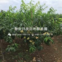 瑞蟠21号桃树苗出售、2018年瑞蟠21号桃树苗价格图片