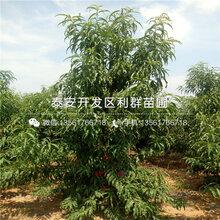 仲秋黄脆黄桃苗销售基地图片