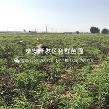 新品种中油蟠5号桃苗、新品种中油蟠5号桃苗出售图片