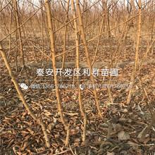 5公分黄金黄桃树苗、5公分黄金黄桃树苗多少钱一棵图片
