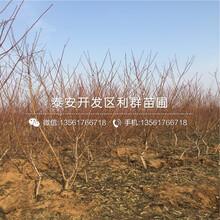 哪里有中華福桃樹苗賣、中華福桃樹苗價格多少圖片