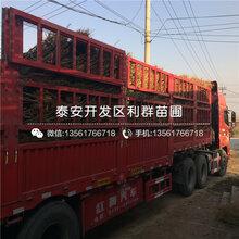 山东巨红蜜桃树苗、巨红蜜桃树苗出售价格图片