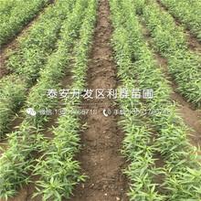 4公分秋麗桃樹苗圖片