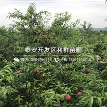 山東新世紀黃桃樹苗出售價格、山東新世紀黃桃樹苗價格多少圖片