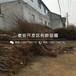 中熟北京晚蜜桃树苗多少钱一棵
